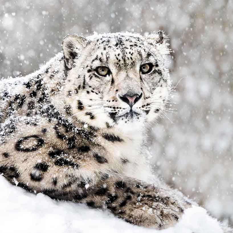 LE's Snow Leopard Expedition